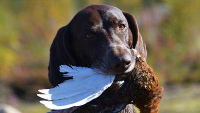 Riistalintu metsästyskoiran suussa.