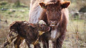 Vastasyntynyt vasikka ja lehmä seisovat.