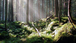 Solen skiner i skogen