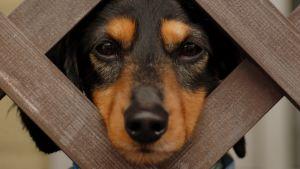 Hund tittar ut genom ett staket.