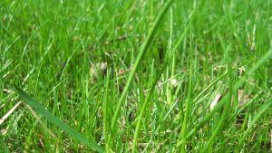 Grön gräsmatta.