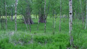 joenvarsikoivikkoa Utsjoella, puita, kasveja ja ruohoa