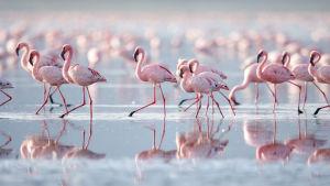 Flamingoja tepastelemassa vedessä.