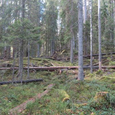 Metsää Lammin Evon Kotisten alueella