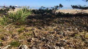 Utsikt mot en sandstrand. Blått hav, solen skiner, ett fraktfartyg syns i fjärran. På marken syns en massa barr, mossa och kottar. Tallkvistar.