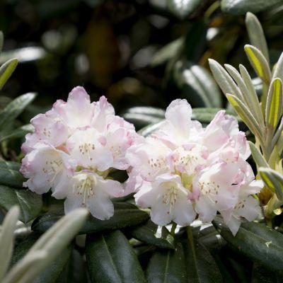 Kaksi valkoista alppiruusua vihreiden lehtien keskellä.