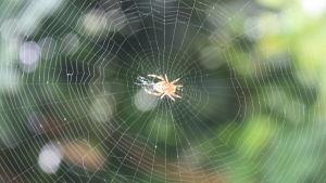 spindel i väv