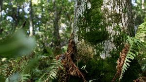 Trädstam omgiven av ormbunkar