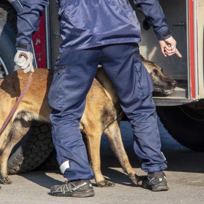Poliisin huukekoira etsii kätköä SM-kilpailuissa.