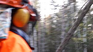 Timber! Trädet faller.