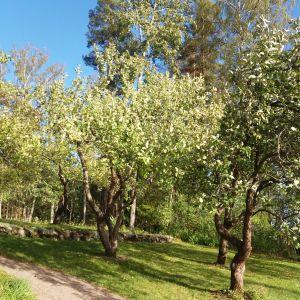 Ainos äppelträd