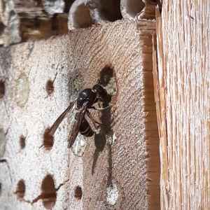 En geting stänger öppningen till sitt bohål.