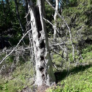 Gundel såg ett myrhöghus i ett gammalt träd. Vilken typ av myror är det som bosätter sig så här?
