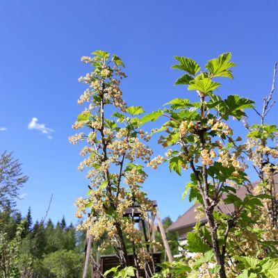 Punaherukka kukki Liperissä aurinkoisessa ja tuulisessa säässä kesäkuun ensimmäisenä viikonloppuna.