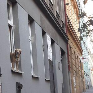 Hund står halvvägs ut från fönster
