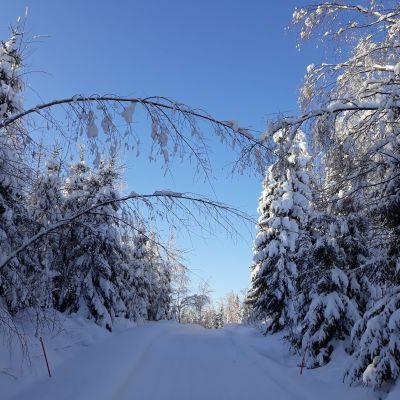 Lumiset kuuset reunustavat talvista pikkutietä.