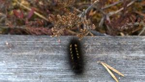 Rämekalvajalka-perhosen toukka