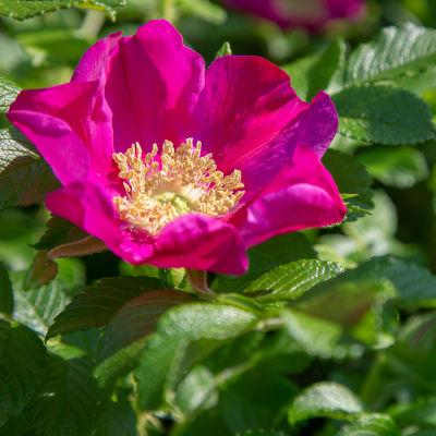 en rosa vresros