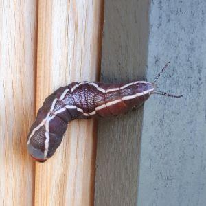 Vad heter denna eleganta larv? undrar Carita.