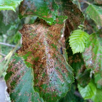 Lepän lehdet ovat pahasti ruskettuneet toukkien ruokailun takia. Kuvassa myös yksi toukka, luultavasti idänlehtikuoriainen.