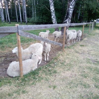 Kymmenen lampaan katras Tampereen Tohlopissa, Kohmanpuistossa.