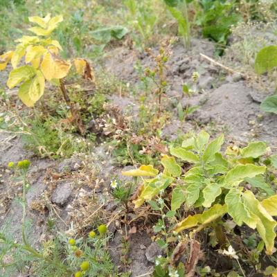 Kellastuneita perunan kasvustoja kuivana kesänä. Kuvassa myös yleisiä rikkakasveja, kuten pihasaunio, pelto-orvokki, jauhosavikka,