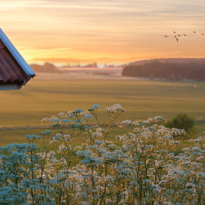 Solnedgång över en sommaräng med blommor och knuten på en röd stuga.