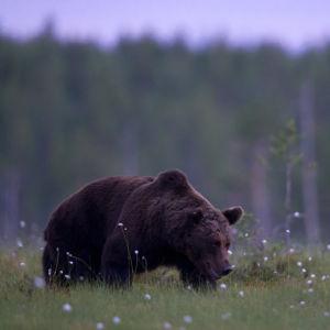 Karhu hiipii öisellä suolla.