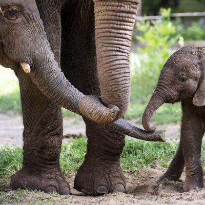 Afrikanska elefanter.