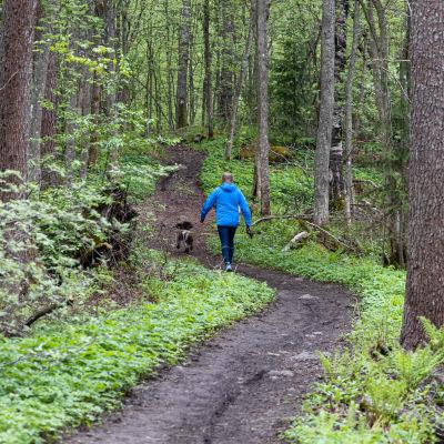 Koiran ulkoiluttaja kävelee Lappeenrannan Lauritsalan Furulundin puistoalueen polkua vanhassa metsässä.