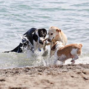 Hundar på en strand.