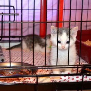 Kattungar i bur.