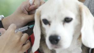Hund får spruta med rabiesvaccin.