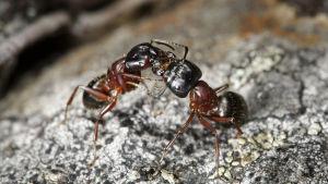 Närbild på två hushästmyror som står på en sten och berör varnadra med mundelarna.