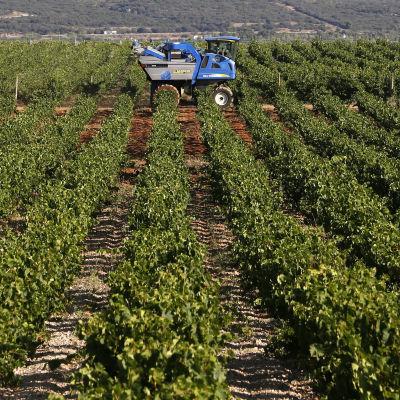 Vingård i södra Frankrike 2014