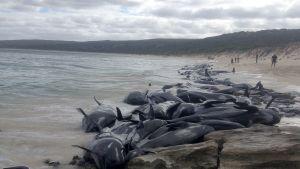 Valar som har strandat i Australien.
