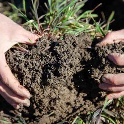 Luomuviljelijä Juuso Joona esittelee hyvää mullan koostumusta luomupellolla Joutsenossa.