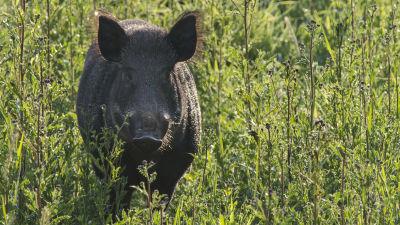 Kommun varnar for vildsvin