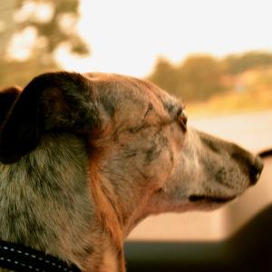 En hund i en bil.