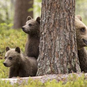 Karhuperhe valppaana.