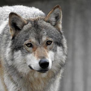 En varg på nära håll