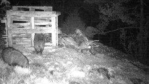 Bild på mårdhundar som besöker ett matningsställe.