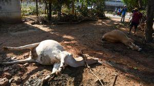 Personer står nära två döda kor.