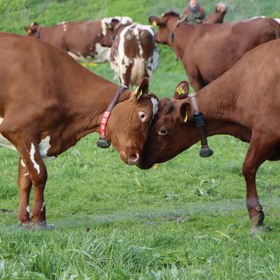Lehmät laitumella.