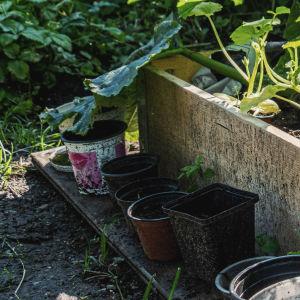 Odlingslåda med lökstjälkar och pumpablommor. Framför lådan en rad med små krukor och byttor i plast.