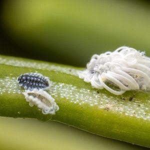 Robert undrar vilken art detta vaxutsöndrande lilla kryp på granbarr hör till. Är det en halvvinge?