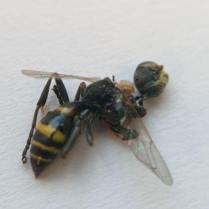 Anette har postat en insekt som vi diskuterat tidigare, för närmare undersökning. Vad är det?
