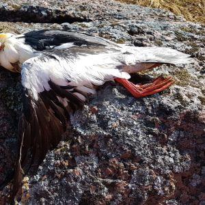 Susanne undrar om det är minken som möjligen dödat och ställvis ätit på skrakens hals.