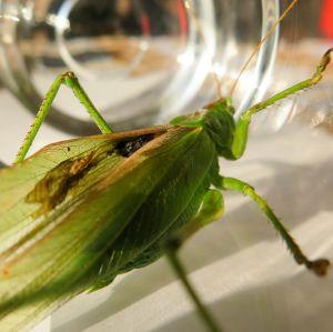 Vad är det för parasit vårtbitaren har under vingen? undrar Stefan och Anna Maria.