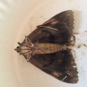 Vad kan detta 5 cm stora flygfä vara, undrar Arla. Hittades drunknad i ett saftglas på verandan i dag 8 augusti